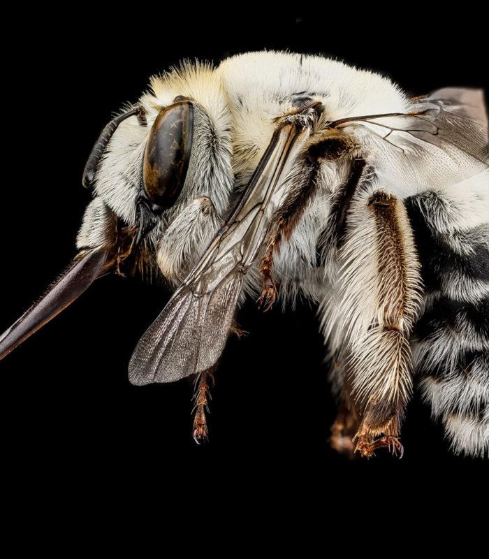 Обнаружен самый опасный вид пчел, который считался давно исчезнувшим…