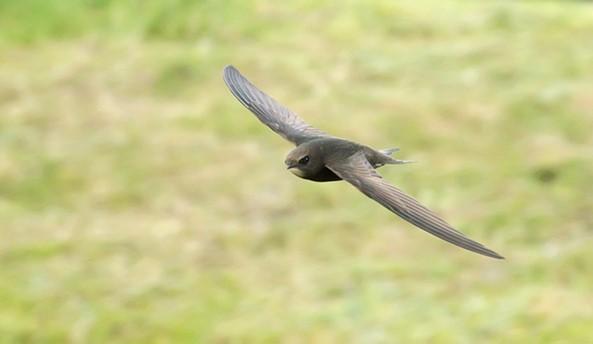 Она ест, пьет и спит в воздухе… Птица, которая проводит до 10 месяцев в полете!