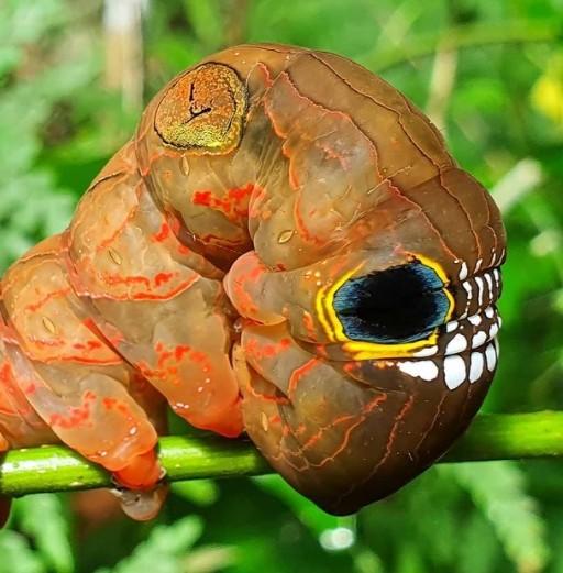 Эта гусеница имитирует страшный череп, чтобы держать хищников в страхе